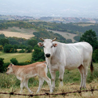 Chianina_vitello-toscana