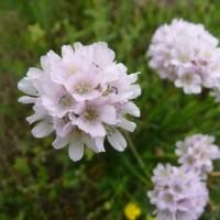 Carpegna - fiore Armeria Arenaria