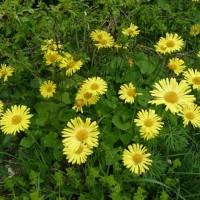 Carpegna - fiori di Doronico