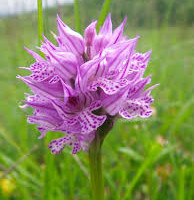 Carpegna - Orchidea