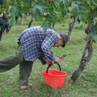 Agriturismo Le Ceregne Bio - La vendemmia