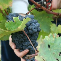produzione-vino-toscano-chianti