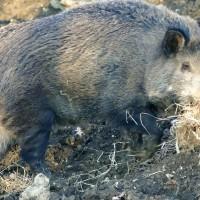 fauna-in-valtiberina-toscana