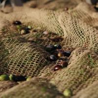 Olive di Olivo Gentile della Valtiberina