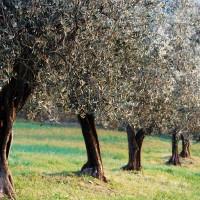 Valtiberina - campagna ulivi