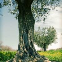 Agriturismo dove si coltiva olivi, viti, grano per la pasta ed si allevano suini, pollame ed animali di bassa corte.